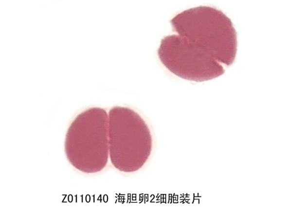 海胆卵2细胞装片