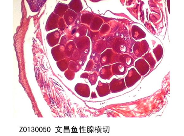 腺+��\y���l9�.����(c9��_文昌鱼腺横切